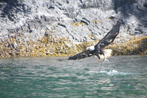 bald eagle fish in claws