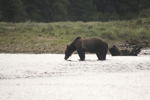 Grizzly Bears drink Glendale water