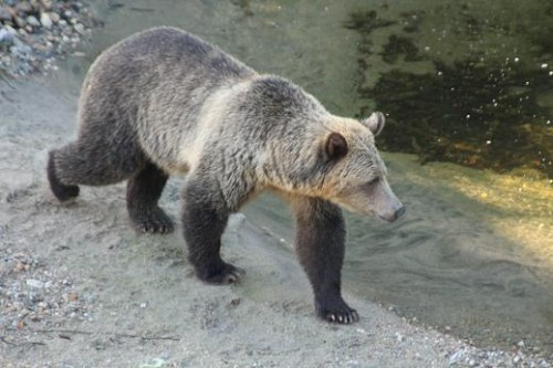 grizzly search for salmon