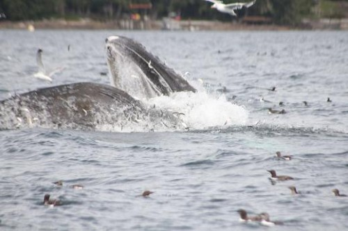 humpback whale feeding on herring