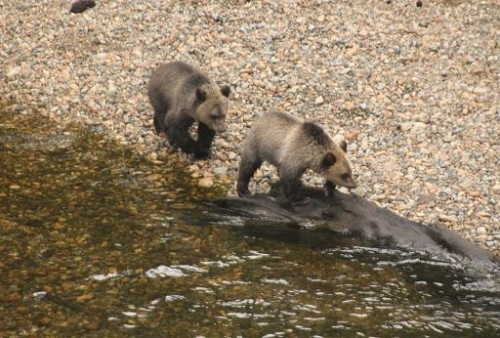 grizzly cubs go fishing