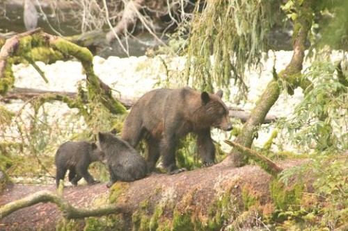 grizzly bear mother