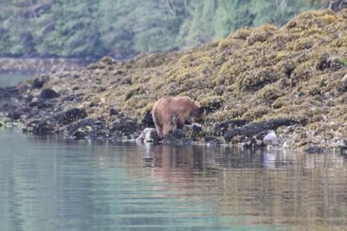 grizzly bears beach forage