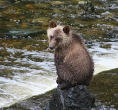grizzly bear cub watching