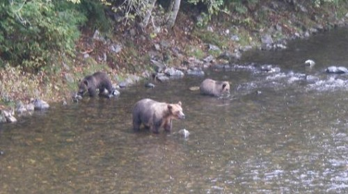 grizzly bear and cubs fishing