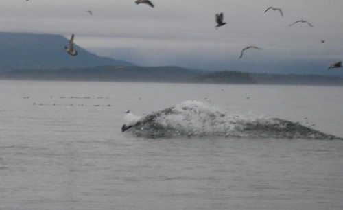 herring spray by feeding whale