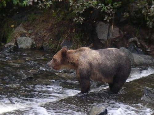 grizzly wait for salmon