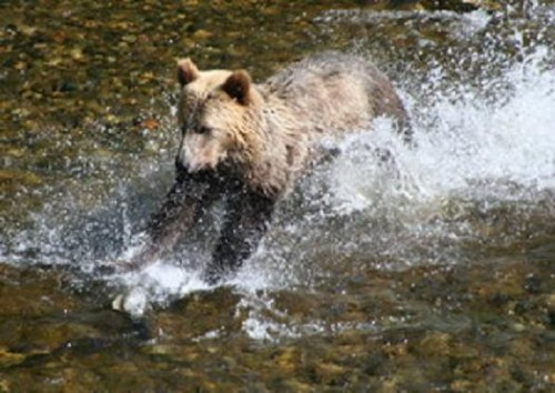 grizzly in the water after salmon