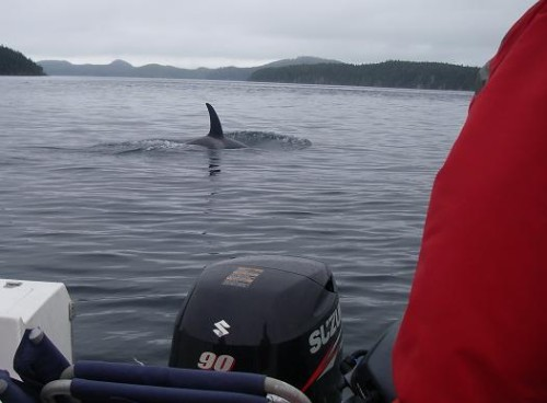 killer whales surfacing by boat