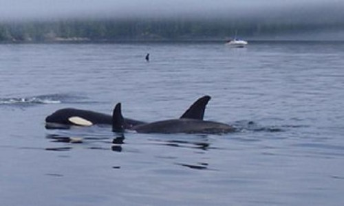 killer whales feed on salmon