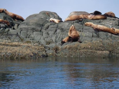 Sea Lions near Vancouver Island