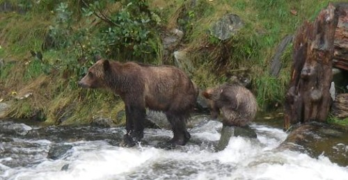 grizzly waiting for salmon