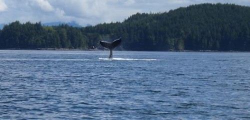 humpback whale playing