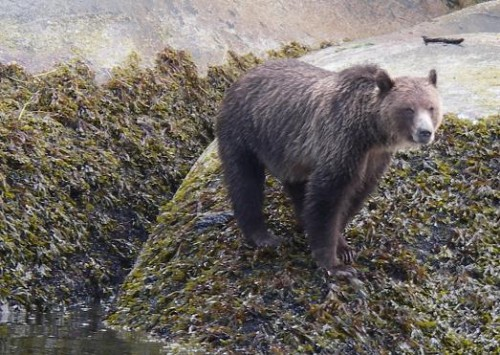grizzly bear on the beach