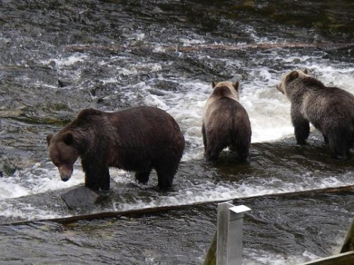 grizzlies wait for salmon