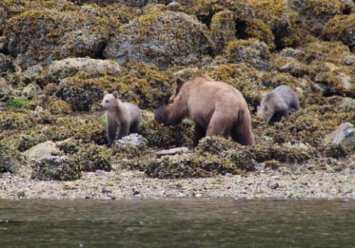 Grizzly mother and twin cubs
