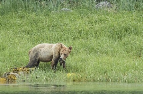 Skinny spring grizzly bears