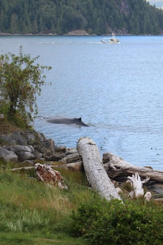 humpback in fron of Grizzly Bear Lodge
