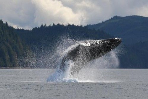 humpback breaching close