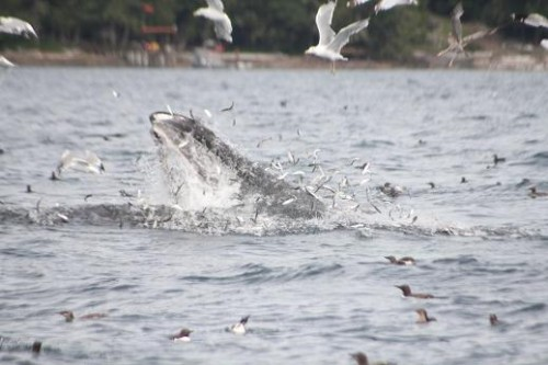 Humpback Whales Lunge Feedl