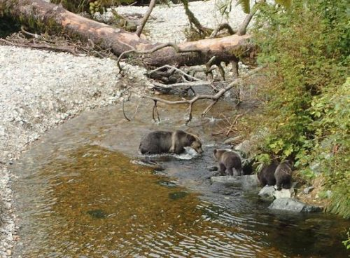 grizzly cubs waiting