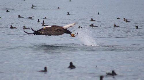 eagle catching herring