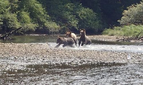 grizzly cubs catch salmon