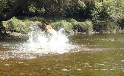 grizzly continues to fish