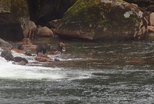 grizzly and cub with salmon