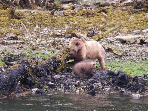 grizzly cub turning rocks