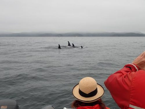 killer whales passing
