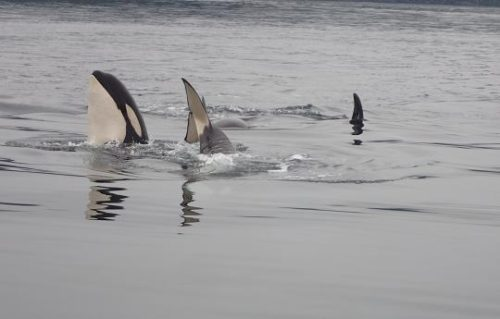 killer whale young playing