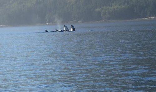Killer Whales Spyhopping