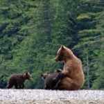 Mother Grizzly nursing