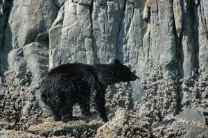 Black Bear shaking water