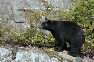 Black bear and rose hips