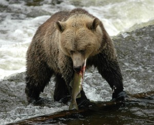 grizzly cstching salmon