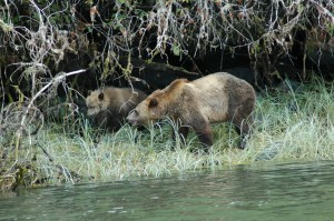 Grizzly & cub in sedge grass