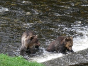 Juvenile Grizzlies Fishing