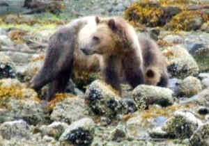 grizzlies on beach