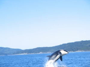 Orca Calf breaching