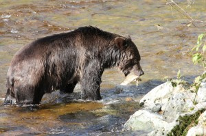 Grizzly Bear with pink salmon