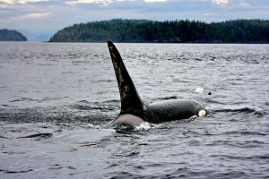 Resident Male Orca
