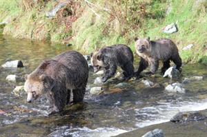 Grizzly mother and cubs