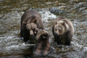 Grizzlies Visiting