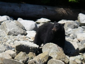 Black bear on beach