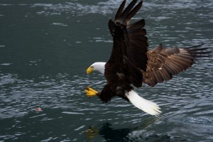 perfect bald eagle