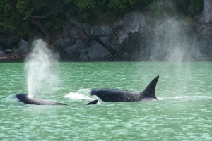 Orca and glacial water