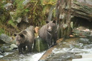 grizzlies share a rock