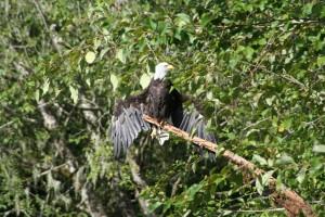 Bald eagle sunning